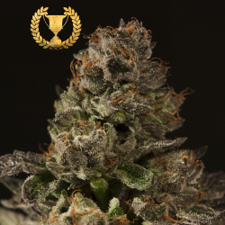 Strawberry Sour Diesel | Feminised, Indoor & Outdoor