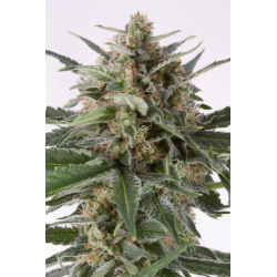 Critical + | Feminised, Auto, Indoor & Outdoor