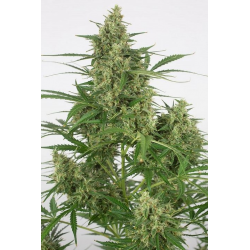 Critical+ 2.0 | Feminised, Auto, Indoor & Outdoor