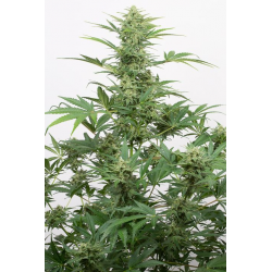 Industrial Plant Autoflowering CBD | Feminised, Auto, Indoor & Outdoor