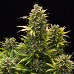 Original Amnesia | Feminised, Auto, Indoor & Outdoor