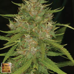 Grape Krush | Indoor & Outdoor