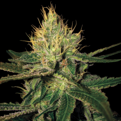 Cannalope Haze | Feminised, Indoor & Outdoor