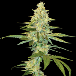 Cannalope Kush | Feminised, Indoor & Outdoor
