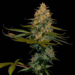 Exodus Kush | Feminised, Indoor & Outdoor