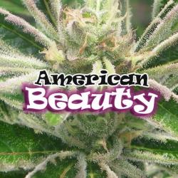 American Beauty | Feminised, Indoor & Outdoor