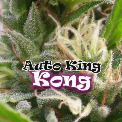 Auto King Kong | Feminised, Auto, Indoor & Outdoor