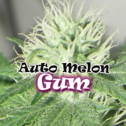 Auto Melon Gum | Feminised, Auto, Indoor & Outdoor
