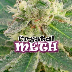 Crystal M.E.T.H. | Feminised, Indoor & Outdoor