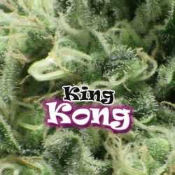 King Kong | Feminised, Indoor & Outdoor