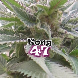 Kong 47 | Feminised, Indoor & Outdoor