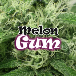 Melon Gum | Feminised, Indoor & Outdoor