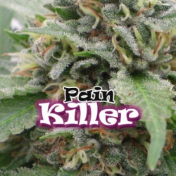 Painkiller | Feminised, Indoor & Outdoor