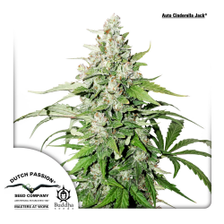 Auto Cinderella Jack | Feminised, Auto, Indoor & Outdoor