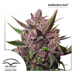 Auto Blackberry Kush | Feminised, Auto, Indoor & Outdoor