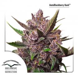 AutoBlackberry Kush | Feminised, Auto, Indoor & Outdoor