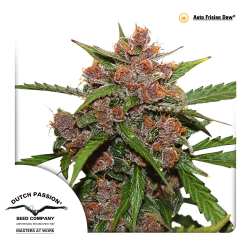 Auto Frisian Dew | Feminised, Auto, Outdoor