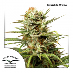 Auto White Widow | Feminised, Auto, Indoor & Outdoor