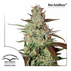 Blue Auto Mazar | Feminised, Auto, Indoor & Outdoor