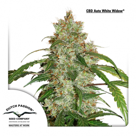 CBD Auto White Widow | Feminised, Auto, Indoor & Outdoor