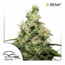 CBD Kush | Feminised, Indoor
