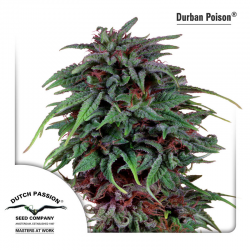 Durban Poison | Feminised, Indoor & Outdoor