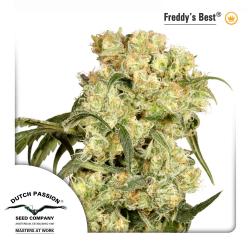 Freddy's Best | Feminised, Indoor