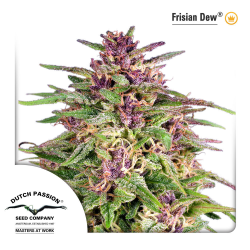 Frisian Dew | Feminised, Outdoor