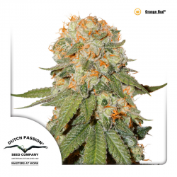 Orange Bud | Feminised, Indoor & Outdoor