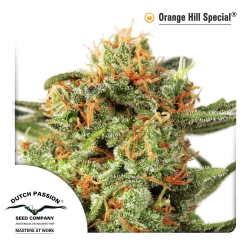 Orange Hill Special | Feminised, Indoor