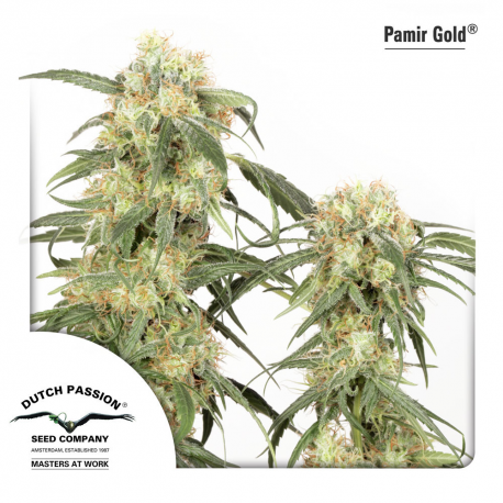Pamir Gold | Feminised, Outdoor
