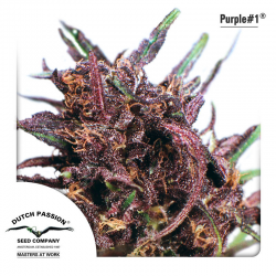 Purple Nr. 1 | Feminised, Outdoor