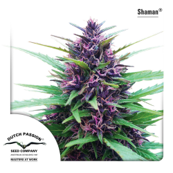 Shaman | Feminised, Outdoor