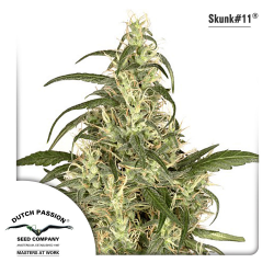 Skunk 11 | Feminised, Indoor