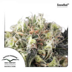 Snow Bud | Feminised, Outdoor