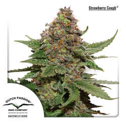 Strawberry Cough | Feminised, Indoor & Outdoor