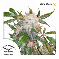 White Widow | Indoor & Outdoor