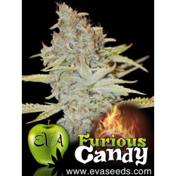 Furious Candy | Feminised, Indoor & Outdoor
