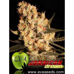 Jamaican Dream | Feminised, Indoor & Outdoor