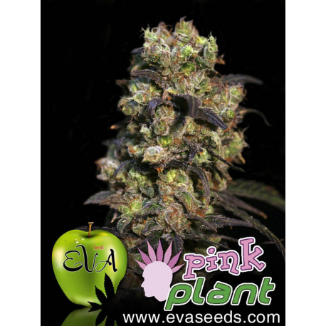 Pink Plant | Feminised, Indoor & Outdoor
