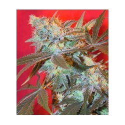 ICED Widow | Feminised, Indoor & Outdoor