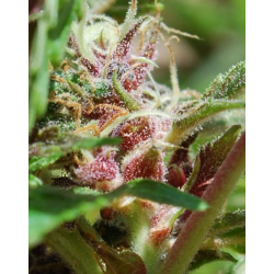 X-Line Red Purps | Feminised, Outdoor