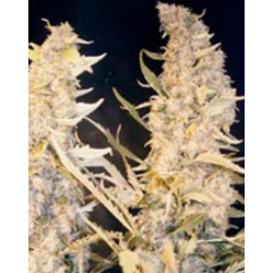Skunk Special | Feminised, Indoor & Outdoor