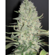 White Widow x Big Bud | Feminised, Indoor & Outdoor