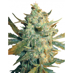 Power Skunk | Feminised, Indoor & Outdoor