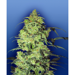 White Widow | Feminised, Indoor
