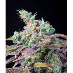 TXOMANGO | Feminised, Indoor & Outdoor