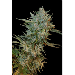 Haze Gom | Feminised, Auto, Indoor & Outdoor
