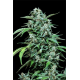 Maxi Haze | Feminised, Auto, Indoor & Outdoor