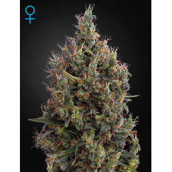 Big Bang | Feminised, Auto, Indoor & Outdoor